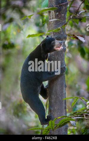 Bornean Sonne tragen (Helarctos Malayanus Euryspilus) Kletterbaum am Bornean Sun Bear Conservation Centre (BSBCC), - Stockfoto