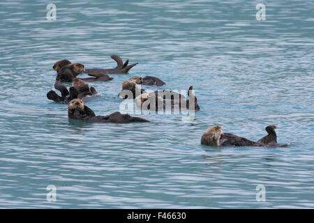 Seeotter (Enhydra Lutris) Gruppe Floß schwimmt auf dem Rücken, Prince William Sound, Alaska, USA. Juni. - Stockfoto