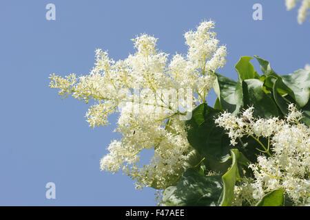 japanische baum flieder syringa reticulata oleaceae. Black Bedroom Furniture Sets. Home Design Ideas