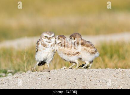 Wyoming, Sublette Grafschaft Kanincheneule Küken männlich für Essen betteln. - Stockfoto