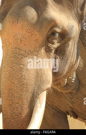 Indischer Elefant (Elephas Maximus Indicus) - Stockfoto