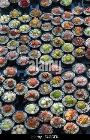 Sempervivum. Hauswurz Pflanzen in Töpfen zum Verkauf im Herbst zeigen, Malvern, Worcestershire, Großbritannien - Stockfoto