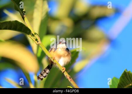 Ashy Prinia oder Ashy Wren-Grasmücke (Prinia Socialis) in Sri lanka - Stockfoto