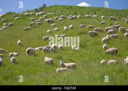 Schafe und Lämmer, North Island, Neuseeland, Pazifik - Stockfoto