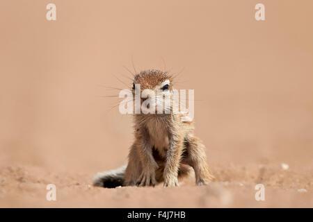 Baby Cape Grundeichhörnchen, Kgalagadi Transfrontier Park, umfasst das ehemalige Kalahari Gemsbok National Park - Stockfoto
