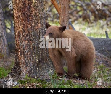 Zimt Schwarzbären (Ursus Americanus) Jährling Cub, Yellowstone-Nationalpark, Wyoming, Vereinigte Staaten von Amerika, - Stockfoto