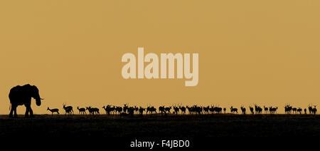 Afrikanischer Elefant (Loxodonta Africana) Stier und eine Herde von Impala (Aepyceros Melampus) Silhouette gegen - Stockfoto
