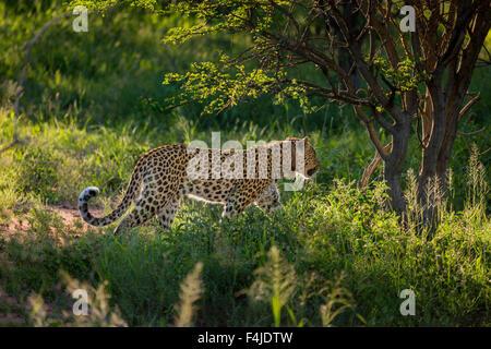 Leoparden in freier Wildbahn tragen eine Radio Kragen, Etosha Nationalpark, Namibia, Afrika - Stockfoto