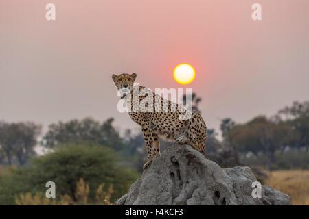 Weibliche Gepard (Acinonyx Jubatus) sitzen auf einem Termite-Hügel bei Sonnenuntergang, Sandibe Camp, Okavango Delta, - Stockfoto