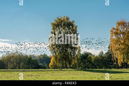 Weißwangengans heben aus den Wiesen bei Himmelstalund in Norrköping, Schweden auf ihrer Migration nach Süden - Stockfoto