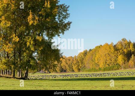 Weißwangengans ruhen auf den Wiesen am Himmelstalund in Norrköping, Schweden auf ihrer Migration nach Süden - Stockfoto