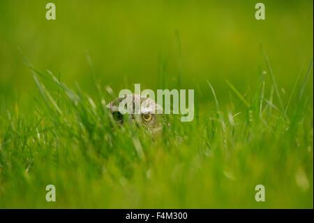 Steinkauz (Athene Noctua) spähen durch Rasen Stockfoto