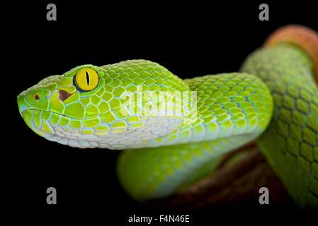Große Augen Pitviper (Trimeresurus Macrops) - Stockfoto