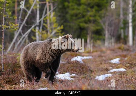 Europäischer Braunbär im Schnee im zeitigen Frühjahr in Taiga-Wald in Finnland. - Stockfoto