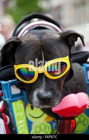 Ein Staffordshire-Pit-Bullterrier mit Sonnenbrille und saß in den Korb mit dem Besitzer Bike, Liverpool, Merseyside, - Stockfoto