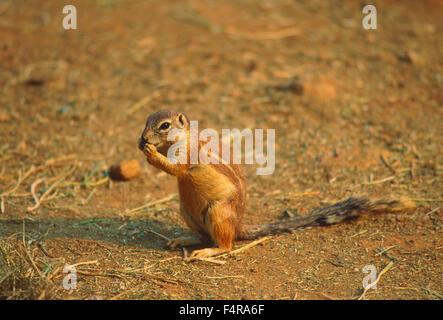 Ziesel, Xerus Inauris, Sciuridae, Eichhörnchen, Säugetier, Tier, Johannesburg, Südafrika - Stockfoto