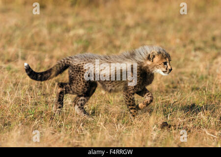 Gepard (Acinonyx Jubatus), sechs Wochen altes Baby Gepard Jungtier erkunden ihre Umgebung, Masai Mara National Reserve, - Stockfoto