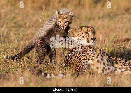 Geparden (Acinonyx Jubatus), sechs Wochen altes Baby Gepard Jungtier spielt mit seiner Mutter, Masai Mara National - Stockfoto