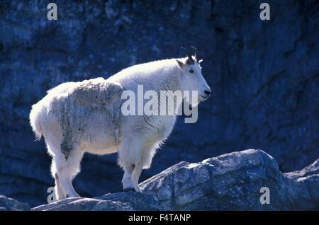 Bergziege (Oreamnos Americanus) Zoo Calgary, Calgary, Alberta, Kanada - Stockfoto