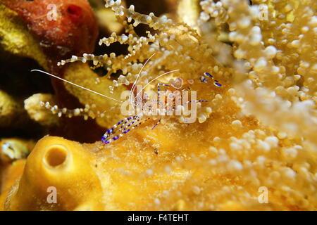 Leben im Meer, eine gefleckten Putzergarnelen, Periclimenes Yucatanicus, Unterwasser in der Karibik - Stockfoto