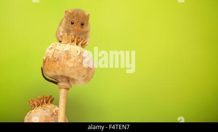 Maus auf eine getrocknete Mohn Kopf klettern zu ernten - Stockfoto