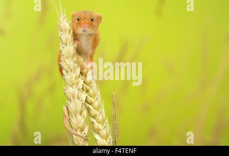 Zwergmaus Klettern auf Weizen - Stockfoto