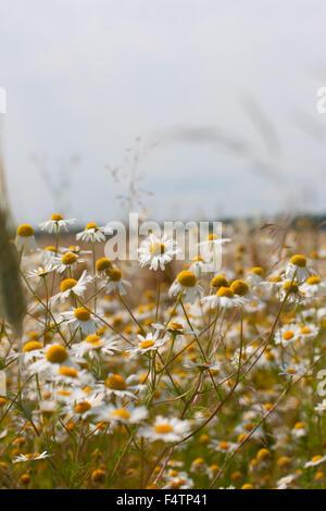 Wilde Kamille Daisy Blumen wachsen auf der grünen Wiese, Sommerzeit - Stockfoto