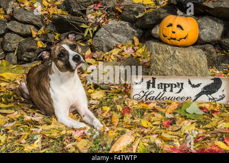 Halloween-Hund mit Jack O Lanterns - Stockfoto