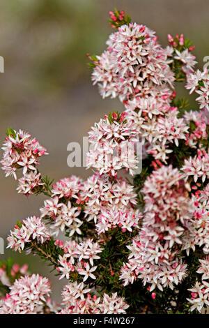 Cluster von weißen Blumen Calytrix Tetragona, Fransen Blume mit Laub ...