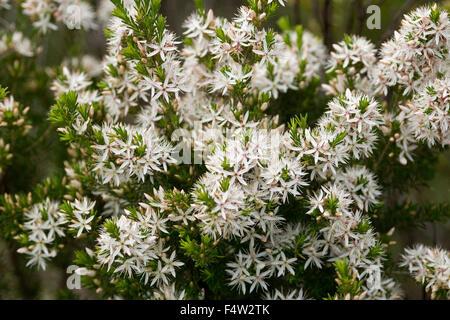 Cluster von weißen Blüten und Laub der australische Teebaum ...