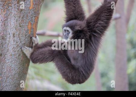 Weiß übergab Gibbon (Hylobates Lar) - Stockfoto