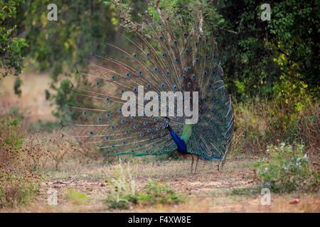 Indischen Pfauen oder blaue Pfauen (Pavo Cristatus), Erwachsene Pfau Verbreitung Federn, Balz, Bundala Nationalpark - Stockfoto