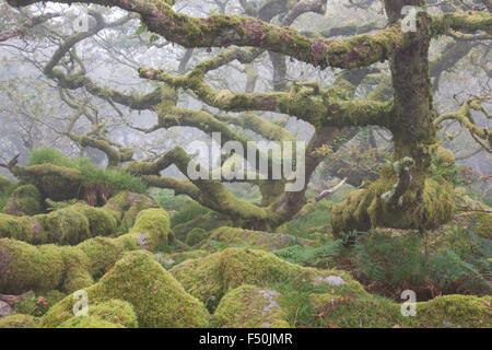 Knorrigen alten Eichen in Wistmans Holzes im Dartmoor National Park an einem nebligen Morgen Stockfoto