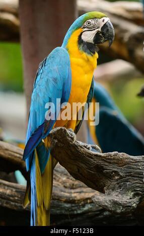 schöne blau-gelbe Ara (Ara Ararauna), auch bekannt als der blau und Gold Ara - Stockfoto