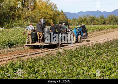 Feld crew Ernte/heben Kartoffeln, 4X4 Ford Traktor. - Stockfoto