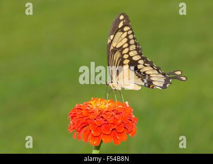Ventralen Blick auf einen riesigen Schwalbenschwanz-Schmetterling auf einer orange Zinnia Blume - Stockfoto