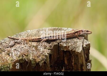 vivipare Eidechse sonnen sich am Baumstamm (Zootoca Vivipara) Stockfoto