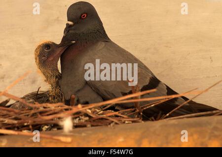 Nest des gemeinsamen Taube und baby - Stockfoto