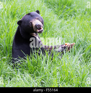 Sun Bear (Helarctos Malayanus) - Stockfoto