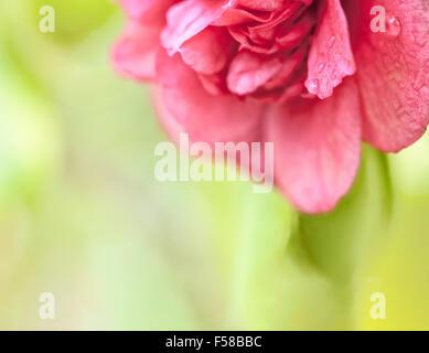 Schöne dunkelrosa Treibhaus Kamelien blühen Makro Nahaufnahme mit Wassertropfen und Raum kopieren. - Stockfoto