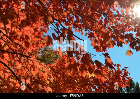 Herbst Blätter im Herbst rot Orange gelb im Prospect Park Brooklyn auf sonnigen Tag blauer Himmel - Stockfoto