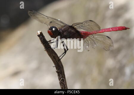 Feurige Abstreicheisen Libelle Orthetrum migratum - Stockfoto