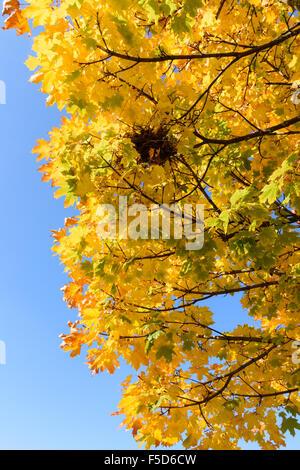 Ahorn Baum Blätter Farbwechsel zu Beginn des Herbstes - Stockfoto
