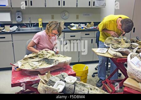 Junge Wissenschaftler an das Museum of the Rockies in Bozeman, Montana, sauber und Konserve Dinosaurierknochen, - Stockfoto
