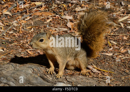Roter Fuchs, Eichhörnchen Stockfoto, Bild: 176192730 - Alamy