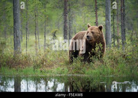 Braunbär (Ursus Arctos), Kuhmo, Finnland, Skandinavien, Europa - Stockfoto