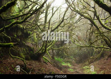 Lorbeerwald im Nebel, El Hierro, Kanarische Inseln, Spanien, Europa - Stockfoto