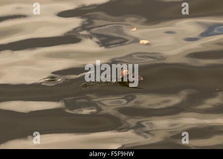 Fledermaus-Landung im Wasser - Stockfoto