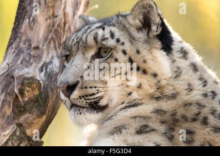 Seite Porträt der Schneeleopard Uncia Uncia mit flachen Fokus - Stockfoto