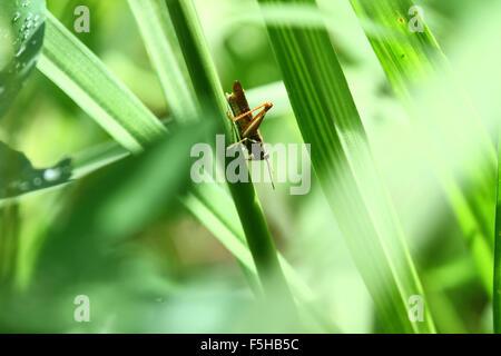 Heuschrecke in grünen Hintergrund - Stockfoto